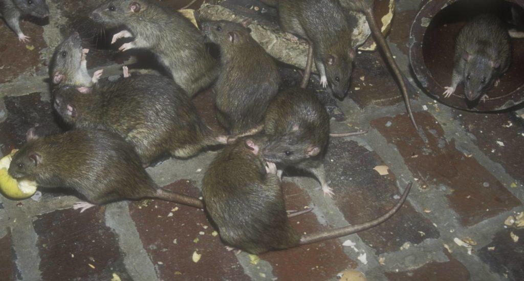 уничтожение крыс в Выборге